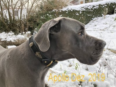 Name: Apollo Rasse: Deutsche Dogge Halsband Kairo\\n\\n19.12.2018 21:45