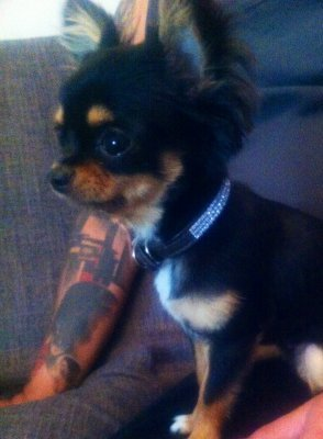 Name: Chicha Rasse: Mini Chihuahua\\n\\n21.08.2012 22:24
